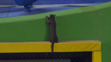 Cat-shows-off-athleticism-on-outfield-wall-attachment